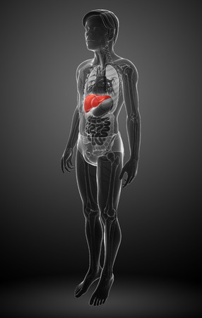 falciform: Illustration of male liver anatomy