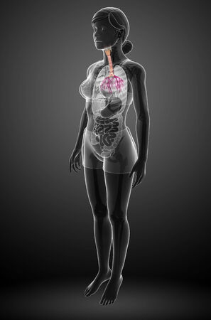 throat: Illustration of Female throat anatomy Stock Photo