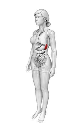 Illustration of Female spleen anatomy