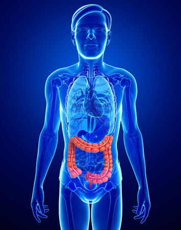 descending colon: Illustration of Male large intestine anatomy Stock Photo