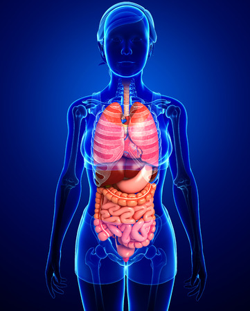 female large intestine: Illustration of female digestive system  Stock Photo