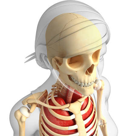 Illustration of human head anatomy