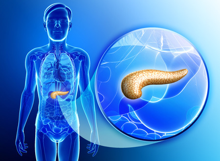 Illustration of male pancreas anatomy illustration