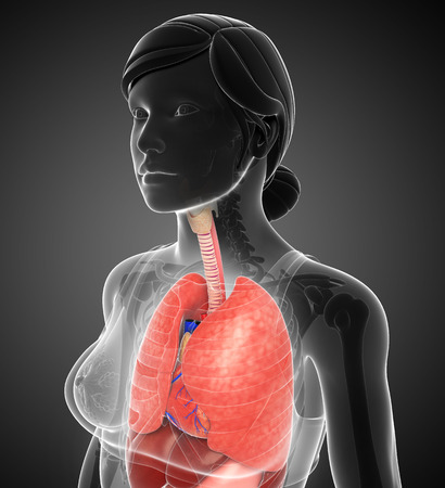 gastrointestinal tract: Illustration of female lungs anatomy Stock Photo