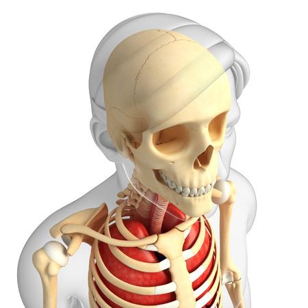midbrain: Illustration of human head anatomy