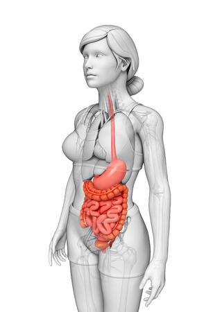 lleum: Illustration of female small intestine anatomy