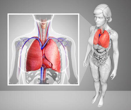 pleural: Illustration of human lungs anatomy