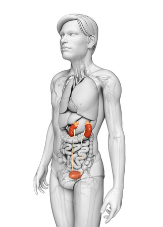 adrenal gland: Illustration of Male urinary system