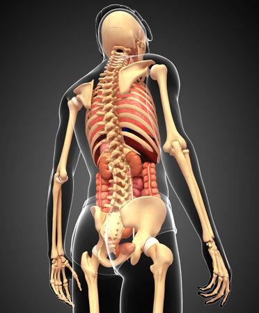 Illustration of male skeleton digestive system  illustration