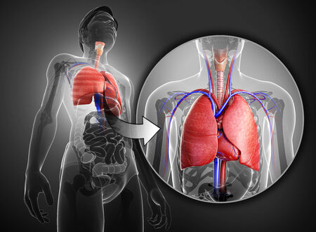 corazon humano: Ilustraci�n de la anatom�a masculina pulmones