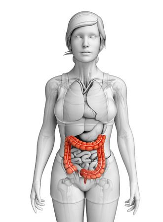 female large intestine: Illustration of Female large intestine anatomy