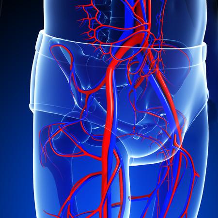 girdle: Illustration of pelvic girdle circulatory system