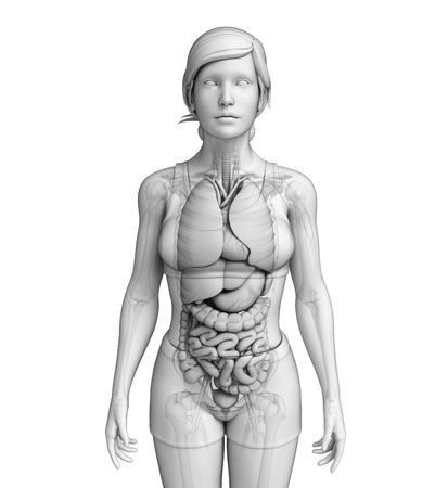 Illustration of female digestive system  illustration