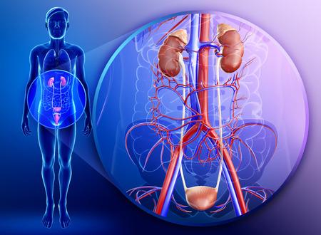 suprarrenales: Ilustración de la anatomía del riñón masculino