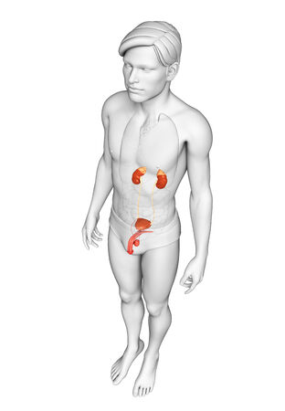 Illustration of Male urinary system