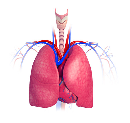 bronchial: Illustration of male lungs anatomy