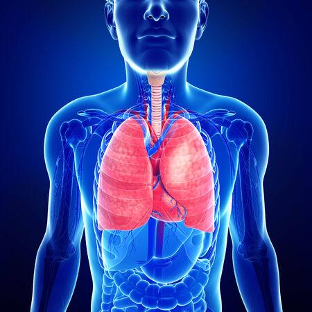 Illustrazione dei polmoni anatomia maschile Archivio Fotografico