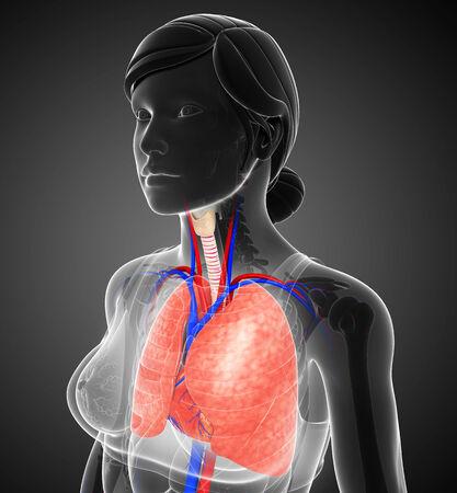 pleural fluid: Illustration of female lungs anatomy Stock Photo