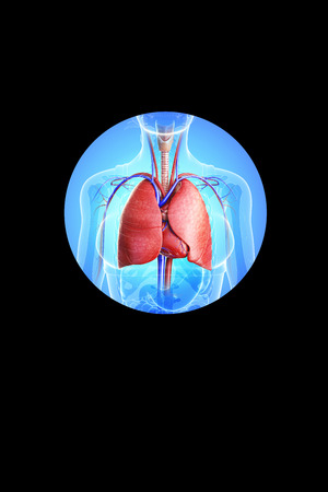 pleura: Illustration of male lungs anatomy