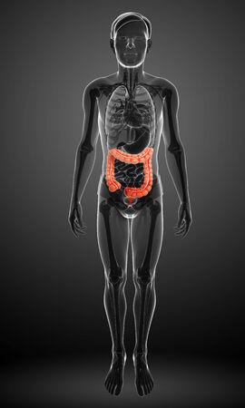 large intestine: Illustration of Male large intestine anatomy Stock Photo