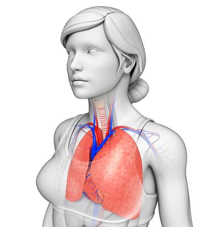 Illustration of male lungs anatomy illustration