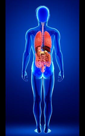 Illustration of male digestive system artwork illustration