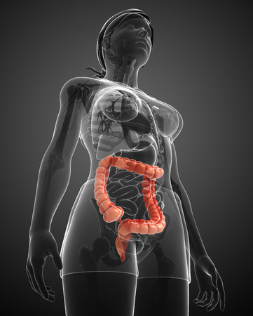 sigmoid colon: Illustration of Female large intestine anatomy