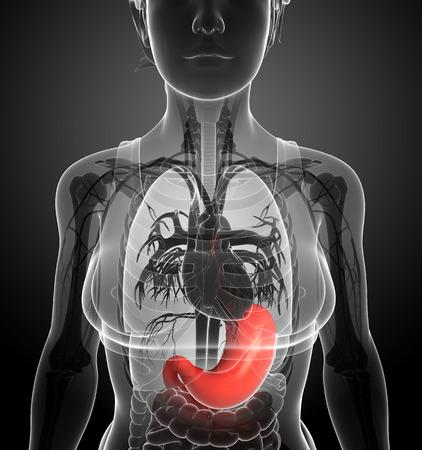 ureter: Illustration of female stomach anatomy