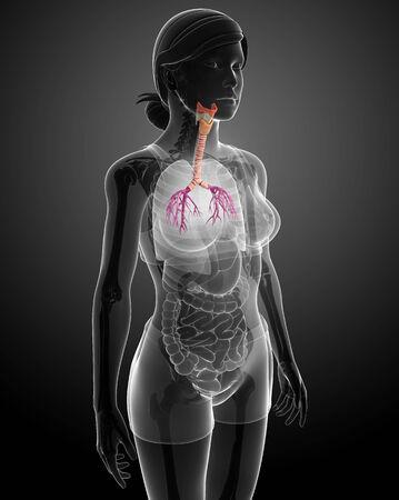urinary tract: Illustration of Female throat anatomy Stock Photo