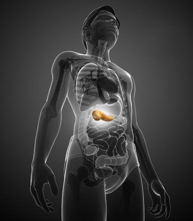 Illustratie van mannelijke alvleesklier anatomie