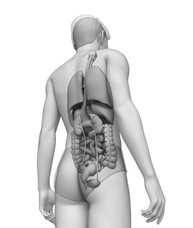 ureter: Illustration of male digestive system  Stock Photo