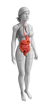 sigmoid colon: Illustration of Female large intestine anatomy