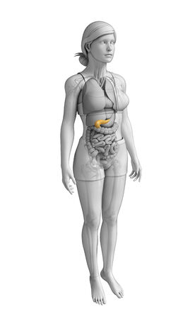 Illustration of female pancreas anatomy illustration