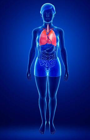 asthmatic: Illustration of female lungs anatomy Stock Photo