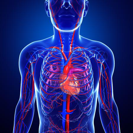 Illustration of human heart anatomy