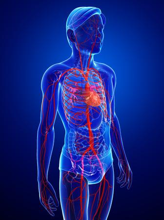 pulmonary veins: Illustration of Male arteries artwork