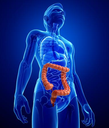 Illustration of Male large intestine anatomy Stock Photo