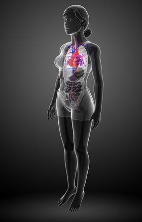female large intestine: Illustration of Female heart anatomy Stock Photo