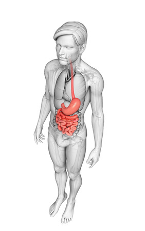 lleum: Illustration of male small intestine anatomy Stock Photo