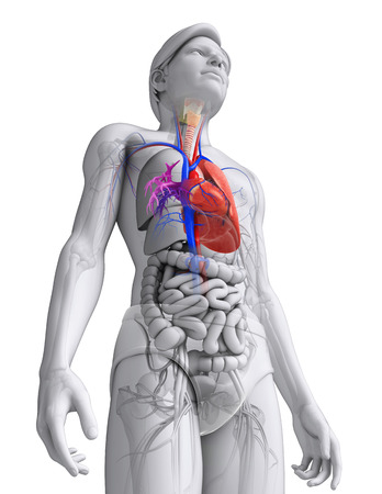 pulmonary trunk: Illustration of Male heart anatomy Stock Photo