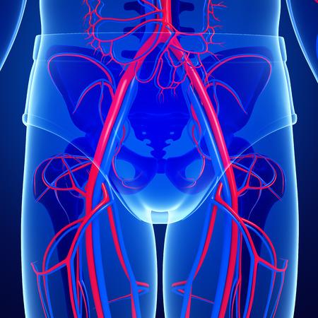 pelvic: Illustration of pelvic girdle circulatory system