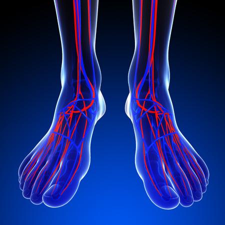 足の循環系のイラスト 写真素材