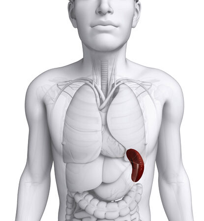 gastric colic: Illustration of male spleen anatomy Stock Photo