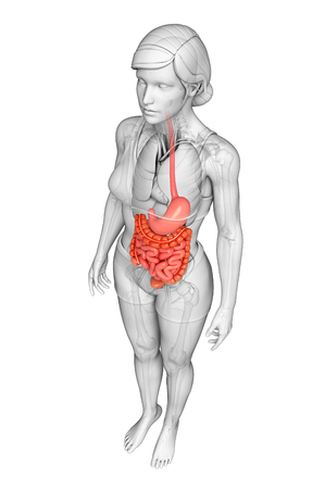 jejunum: Illustration of female small intestine anatomy