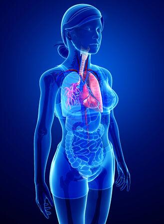 Illustration de mâle poumons anatomie