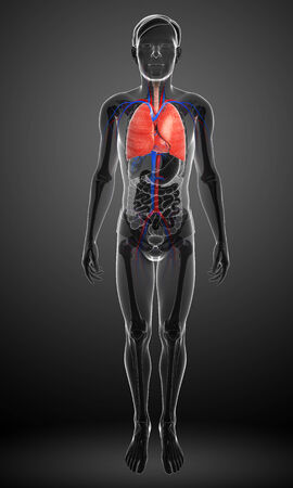 urinary tract: Illustration of male lungs anatomy