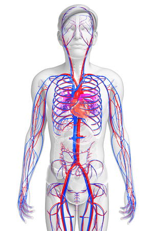 Illustration of Male circulatory system Imagens - 31808652
