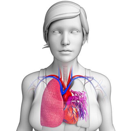 pleural fluid: Illustration of male lungs anatomy