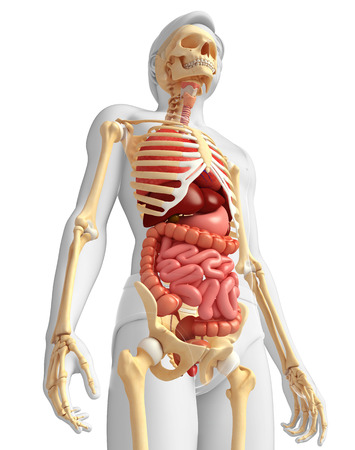 Illustration of male skeleton digestive system  illustration