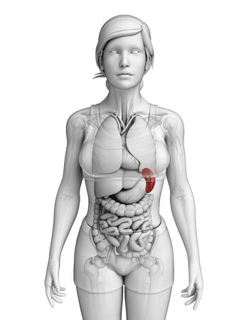 female large intestine: Illustration of Female spleen anatomy